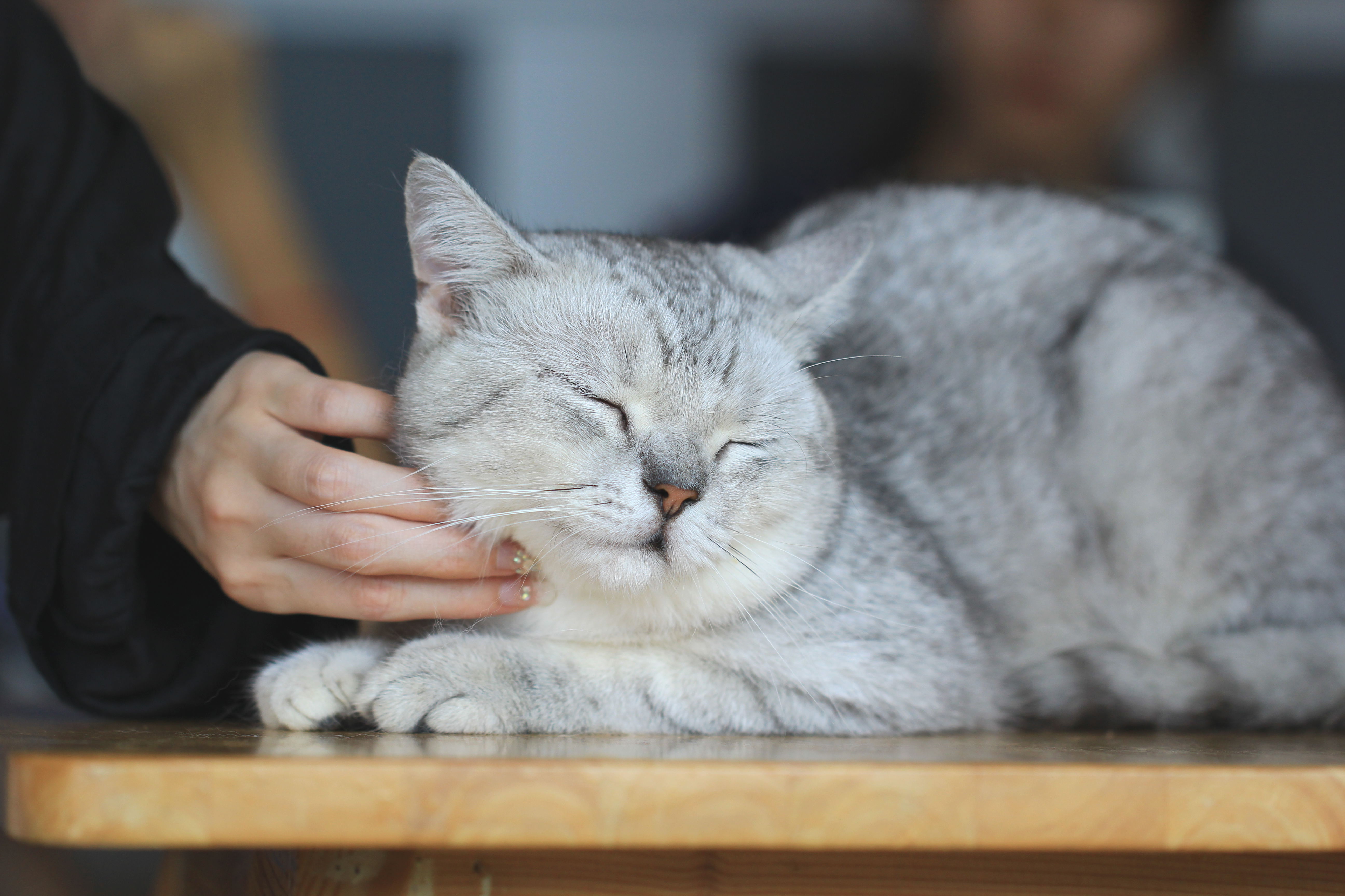 WHY CATS PURR?
