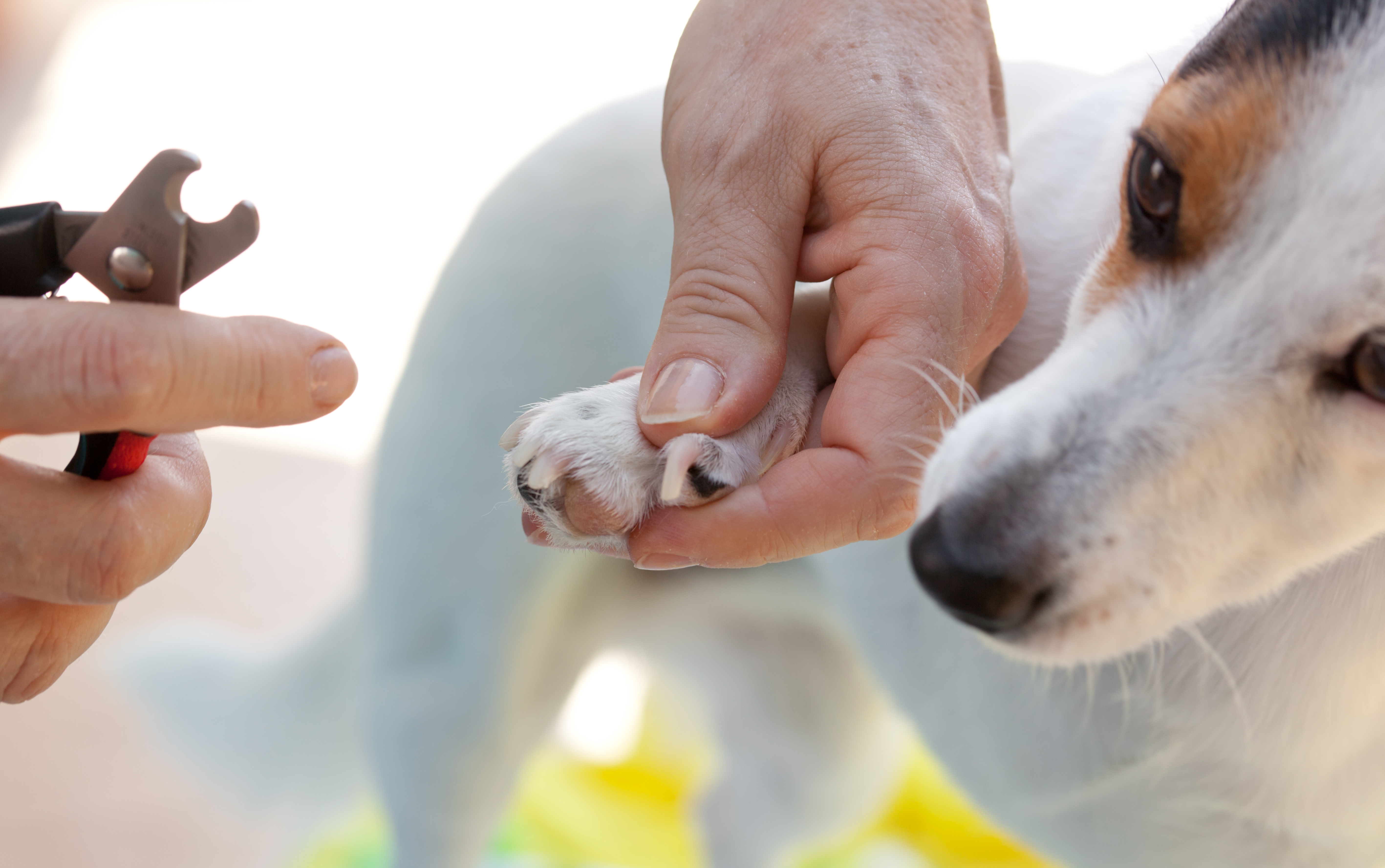HOW TO CUT NAILS TO YOUR DOG?